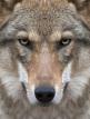 download Yellowstone.-.Das.Geheimnis.der.Woelfe.GERMAN.DOKU.720p.HDTV.x264-Pumuck